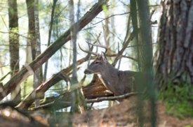 Whitetail Deer Hunting Tips