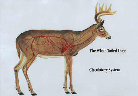 White tail deer anatomy