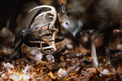 whitetail deer bucks fighting