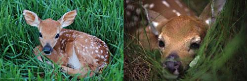 whitetail deer fawns