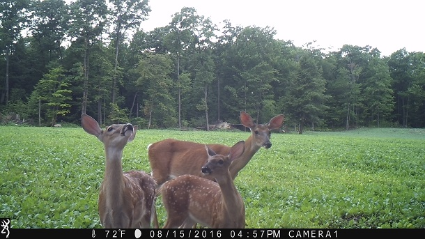 Whitetail Deer Fawns, Whitetail Deer Doe