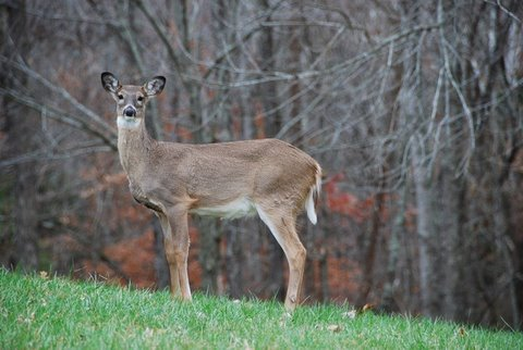 whitetail doe in fall