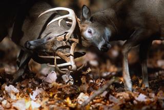 Two Trophy Whitetail Deer Bucks