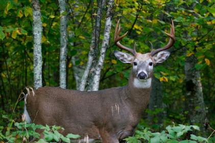 Monster Whitetail Deer