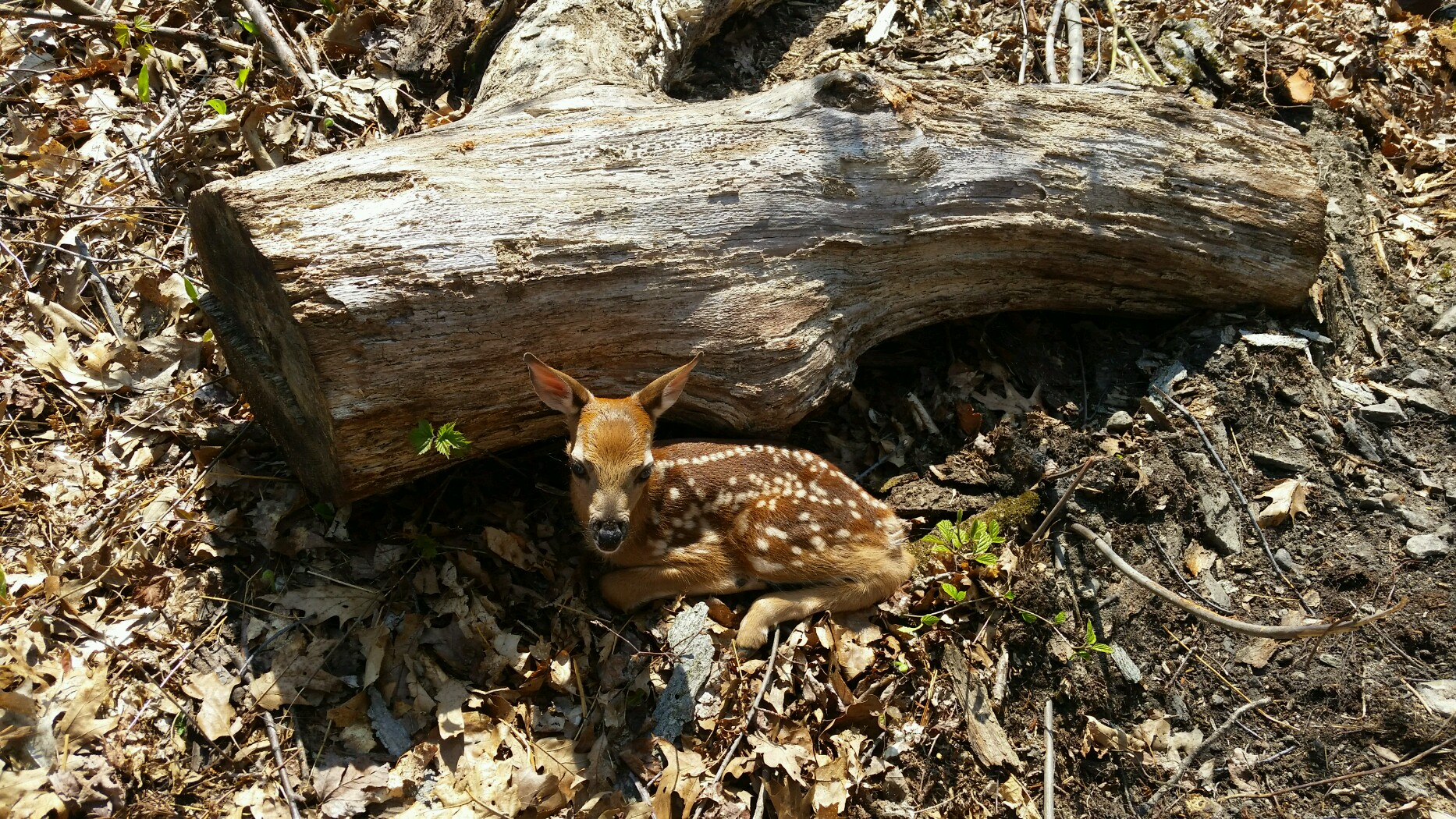 Whitetail Deer Hunting Information