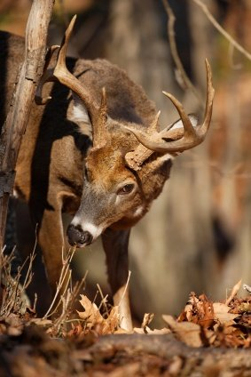 Whitetail buck rutting