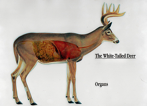 anatomy of a whitetail deer rh the whitetail deer com whitetail deer diagram whitetail deer diagram