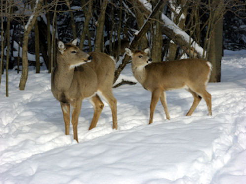 Whitetail doe in winter