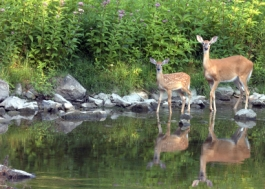 white tail deer at the stream
