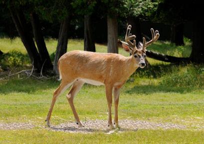 Whitetail Buck in Summer