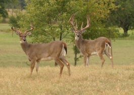 Typical Whitetail Bucks