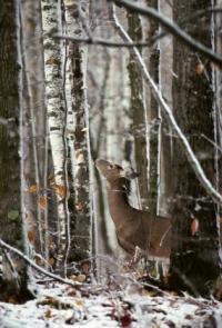 Whitetail Deer Food
