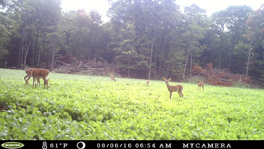 Resident Whitetail Deer Feeding