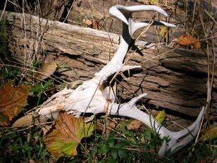 Whitetail Buck Antler Skeleton