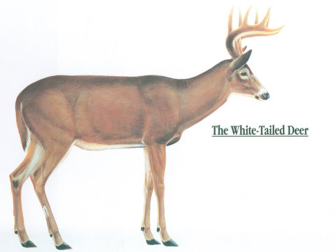 whitetail deer anatomy