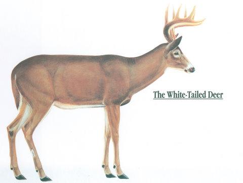 whitetail deer anatomy