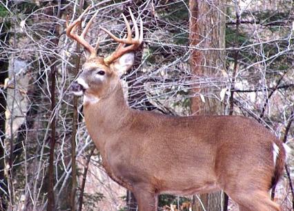 Whitetail Deer Bucks Winter 2