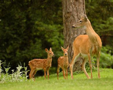 Whitetail Deer info