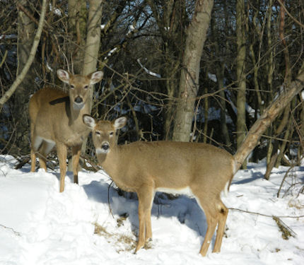 Whitetail Doe in the Winter