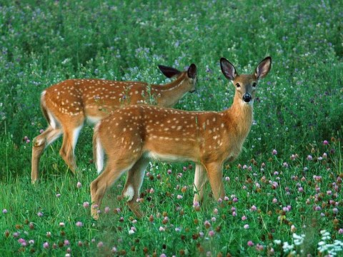 older whitetail deer fawns