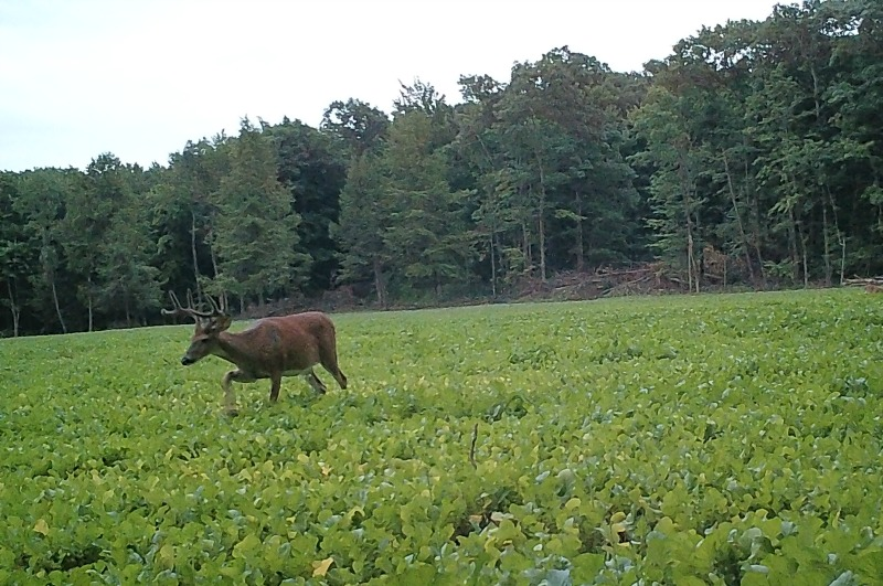 Whitetail Deer Enjoying Food Plot