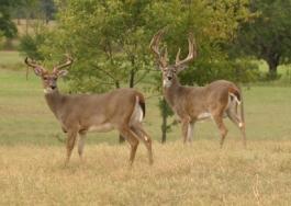 Typical Whitetail Bucks