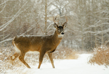 Typical Whitetail Buck Winter 2
