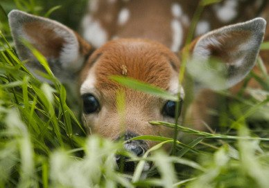 White Tailed Deer Fawn And Mother